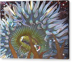 Sea Anemone Acrylic Print by Donna Leach