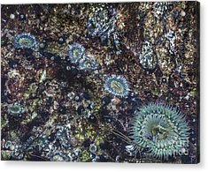 Acrylic Print featuring the mixed media Sea Anenome Jewels by Terry Rowe