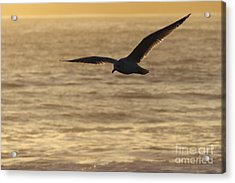 Sea Bird In Flight Acrylic Print by Paul Topp