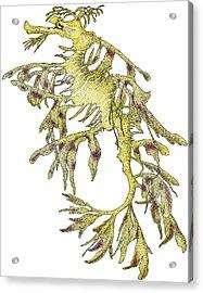 Sea Dragon Acrylic Print by Roger Hall