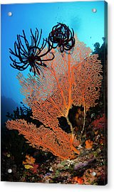 Sea Fan (gorgonia Acrylic Print by Pete Oxford