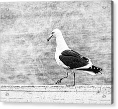 Sea Gull On Wharf Patrol Acrylic Print by Jon Woodhams