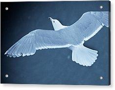 Sea Gull Over Icy Water Acrylic Print