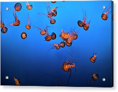 Sea Life And Jelly Fish Underwater The Acrylic Print by Pgiam