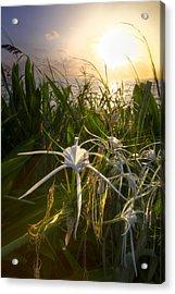 Sea Lily Acrylic Print by Debra and Dave Vanderlaan