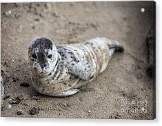 Seal Baby Acrylic Print by David Millenheft