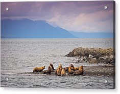 Acrylic Print featuring the photograph Sea Lion Bulls by Janis Knight
