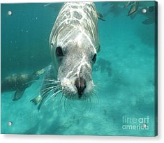 Sea Lion Acrylic Print by Crystal Beckmann
