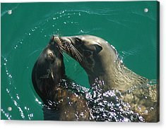 Sea Lion Love Acrylic Print by Annie Pflueger