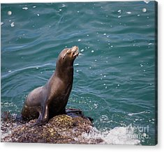 Sea Lion Posing Acrylic Print by Dale Nelson
