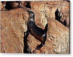 Sea Lion Relaxing On Monterey Bay Rocks Acrylic Print by Susan Wiedmann