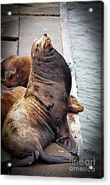Sea Lion Acrylic Print by Robert Bales