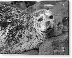 Sea Lion Stare In Monochrome Acrylic Print by Darleen Stry