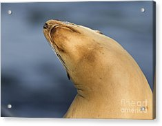 Acrylic Print featuring the photograph Sea Lion Stretch by Bryan Keil