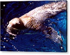 Sea Lion Swim Acrylic Print by Robert  Rodvik