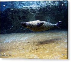 Acrylic Print featuring the photograph Sea Lion Swimming Upsidedown by Verana Stark