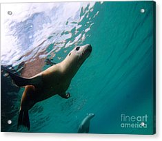 Sea Lion Under Lights Acrylic Print by Crystal Beckmann