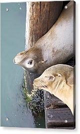 Sea Lions Acrylic Print by Ashley Balkan