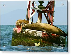 Sea Lions Floating On A Buoy In The Pacific Ocean In Dana Point Harbor Acrylic Print by Artist and Photographer Laura Wrede