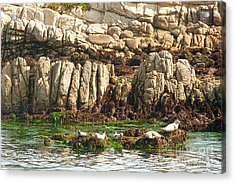 Sea Lions In Monterey Bay Acrylic Print by Artist and Photographer Laura Wrede