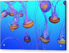 Sea-nettle Jelly Fish  Acrylic Print