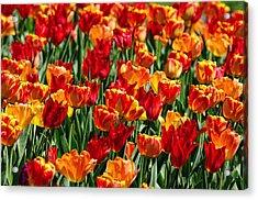 Sea Of Tulips II Acrylic Print by Dick Wood