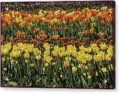 Sea Of Tulips Acrylic Print by LeeAnn McLaneGoetz McLaneGoetzStudioLLCcom