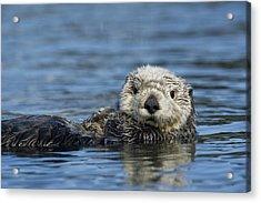 Sea Otter Alaska Acrylic Print by Michael Quinton