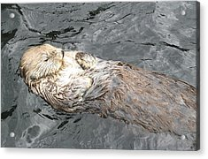 Sea Otter Acrylic Print by Brian Chase