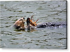 Acrylic Print featuring the photograph Sea Otter Munching On Crab Leg by Susan Wiedmann