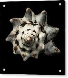 Sea Shell #1 Acrylic Print