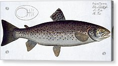 Sea Trout Acrylic Print by Andreas Ludwig Kruger