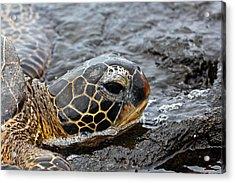 Sea Turtle Puako Tidepools Acrylic Print by Rick Starbuck