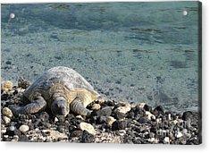 Sea Turtle Acrylic Print by Renie Rutten