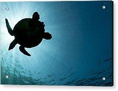 Sea Turtle Silhouette Acrylic Print