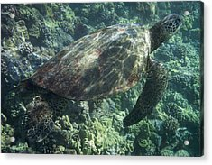 Sea Turtle Surfacing Acrylic Print