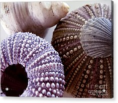 Sea Urchins  Acrylic Print by Colleen Kammerer