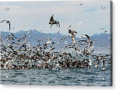 Seabirds Feeding Acrylic Print by Christopher Swann