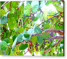 Acrylic Print featuring the photograph Seagrapes by Kay Gilley