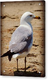 Seagull 3 Series 2 Acrylic Print by Kelly Nowak
