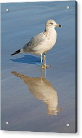 Acrylic Print featuring the photograph Seagull by Alicia Knust