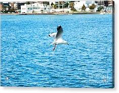 Seagull At St Kilda Acrylic Print by Yew Kwang