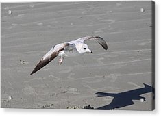 Acrylic Print featuring the pyrography Seagull by Chris Thomas