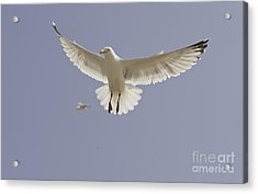 Seagull Hovering Acrylic Print by Lesley Rigg