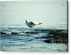 Acrylic Print featuring the photograph Seagull Hunting by Yew Kwang