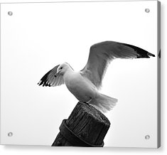 Seagull In Black And White Acrylic Print