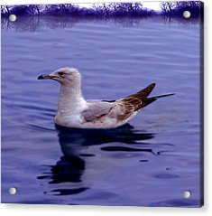 Seagull In Blue Acrylic Print by Sakna T