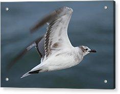 Seagull In Flight 12 Acrylic Print