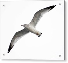 Acrylic Print featuring the photograph Seagull In Flight by Anita Oakley