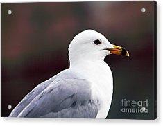 Seagull Acrylic Print by John Rizzuto